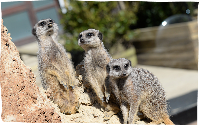Meet The Meerkats