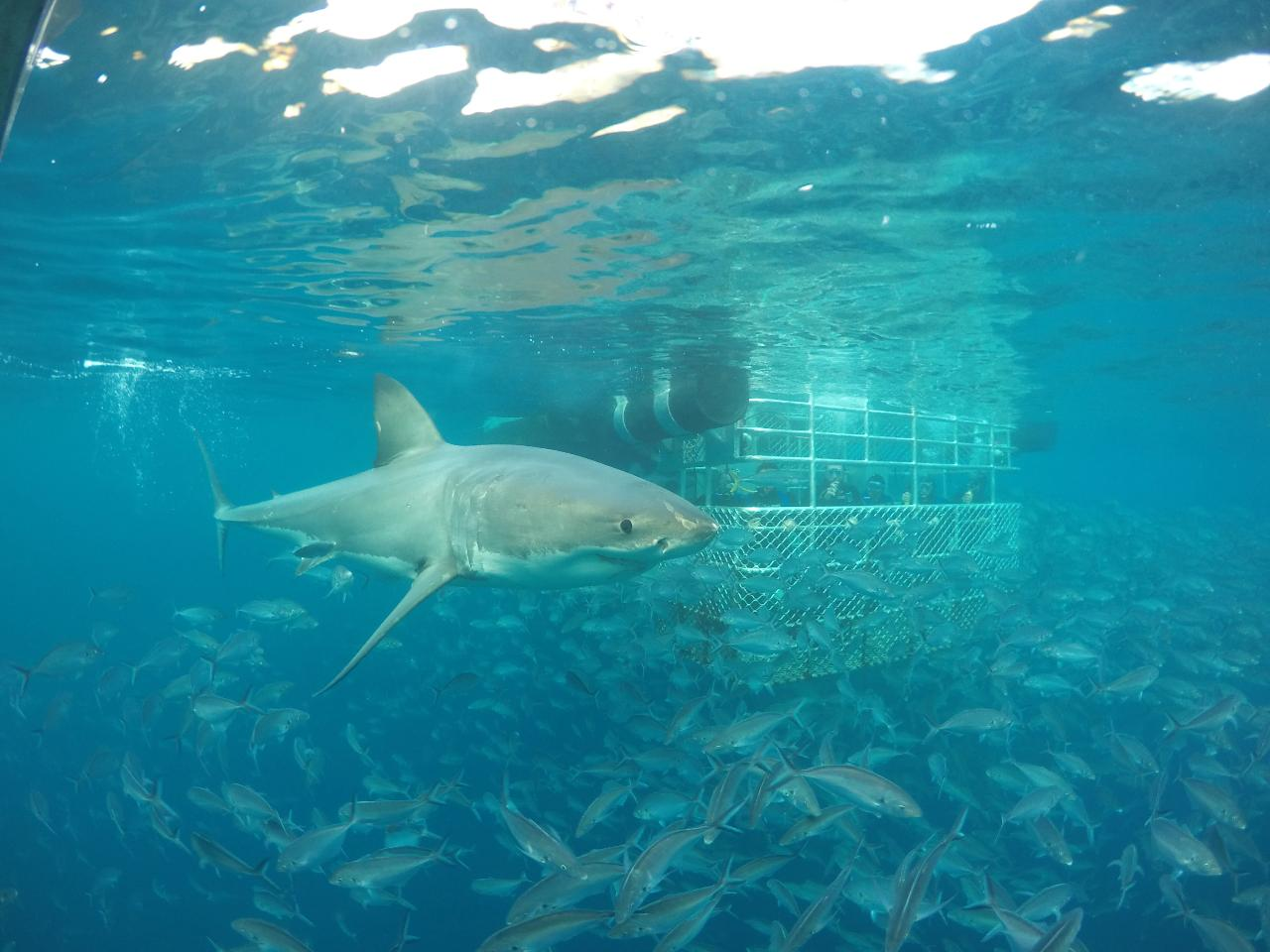 One day Great White Shark Tour