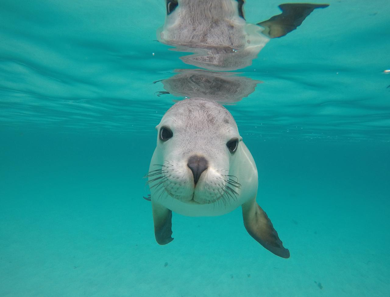 Swim with the Sealions - Double The Fun