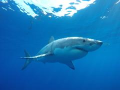 One day Great White Shark Tour - Twilight
