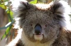 Private Full day Phillip Island Penguin Parade- Penguins Plus, Churchill Island, Koala Conservation Park