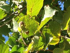 Exclusive- Hazelnut gathering at Red Hill Truffles- Public