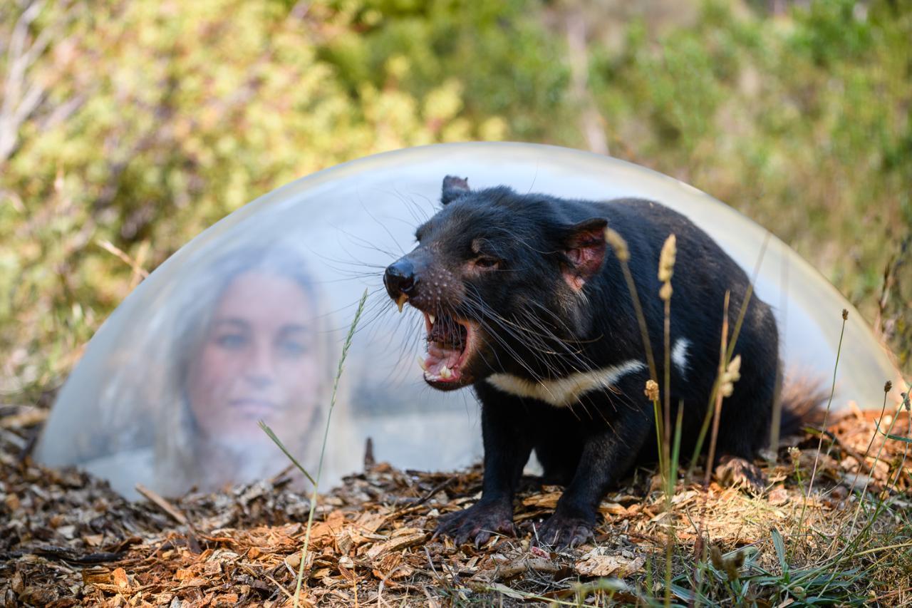 New Tasmanian Devil Unzoo guided nature walks