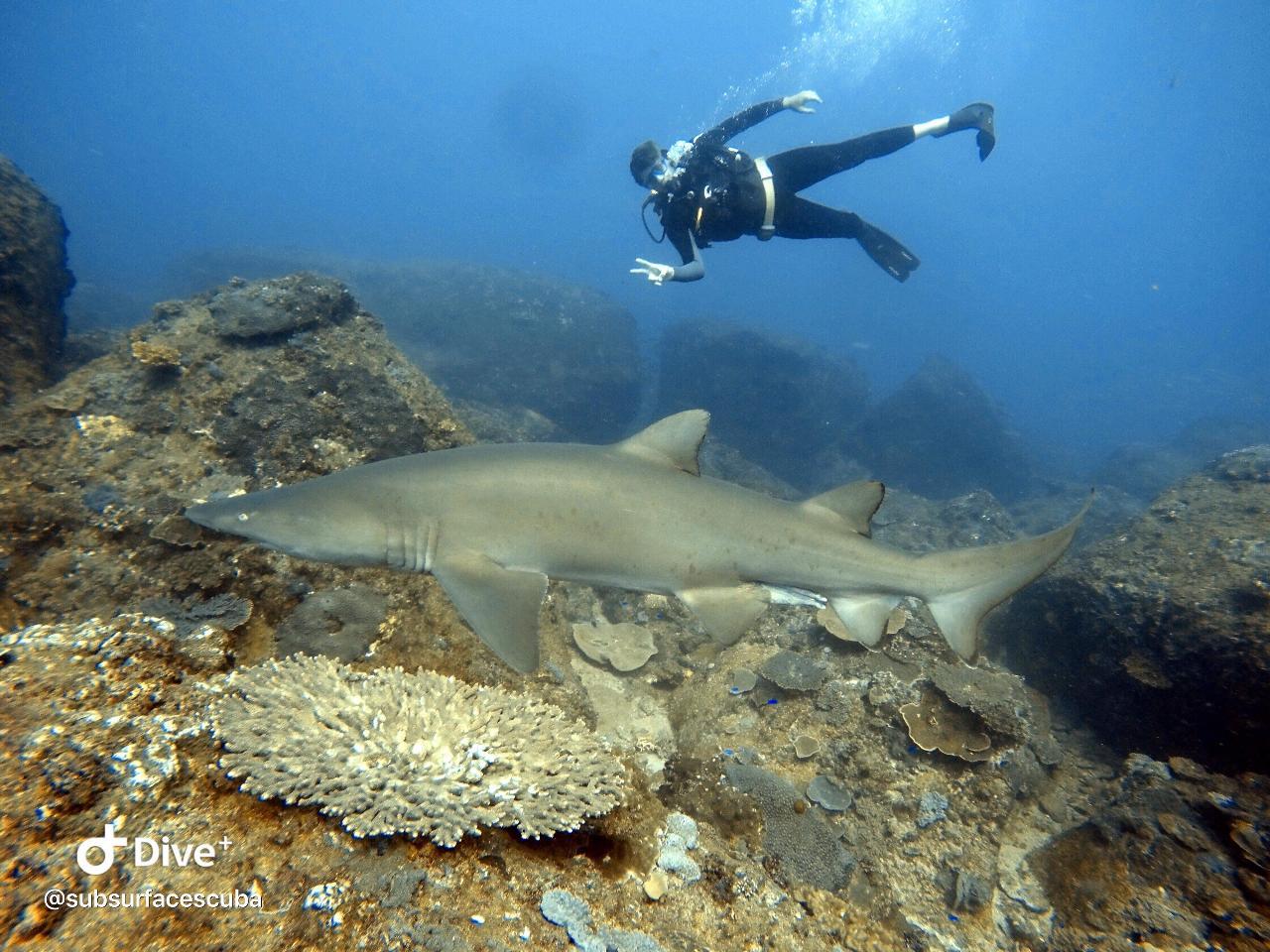 Shark Dive Sunshine Coast - Double Dive