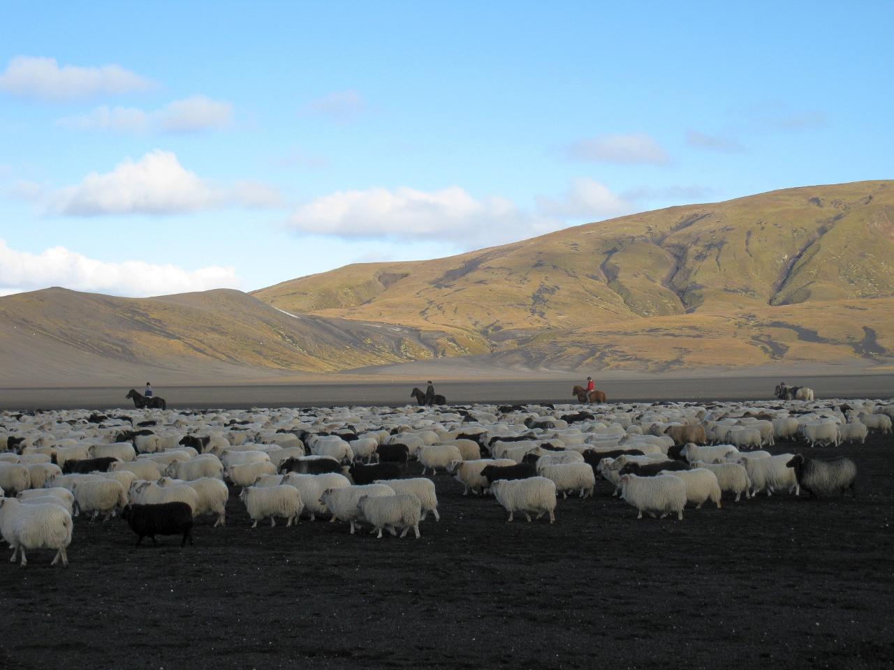Sheep round up - Reykjarréttir