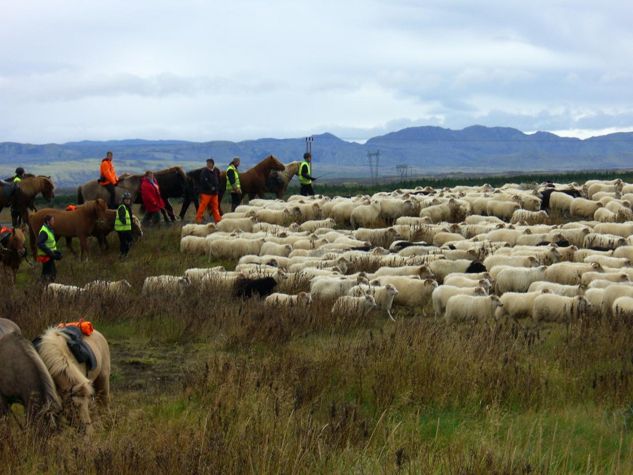 Sheep round up - Melrakkaslétta