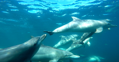 Swim with Wild Dolphins (meet the boat in Rockingham)