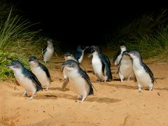 Phillip Island Penguins, Beach Boxes plus Exclusive Wildlife Encounter