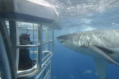 Swim With Great Whites