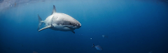 OFF PEAK GIFT VOUCHER - Swim with the Great Whites ** With Underwater Access **