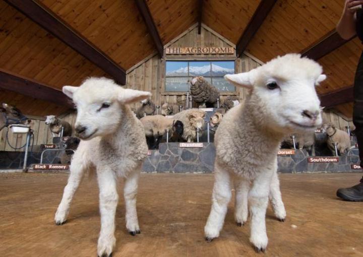 Rotorua Day Tour: Wai-O-Tapu : Lady Knox Geyser : Champagne Lake : Agrodome Farm Show, Small Group Combo tour.
