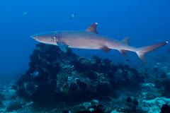 1 certified fun dive at Padang Bai, Bali local dive sites for corals, sharks and turtles