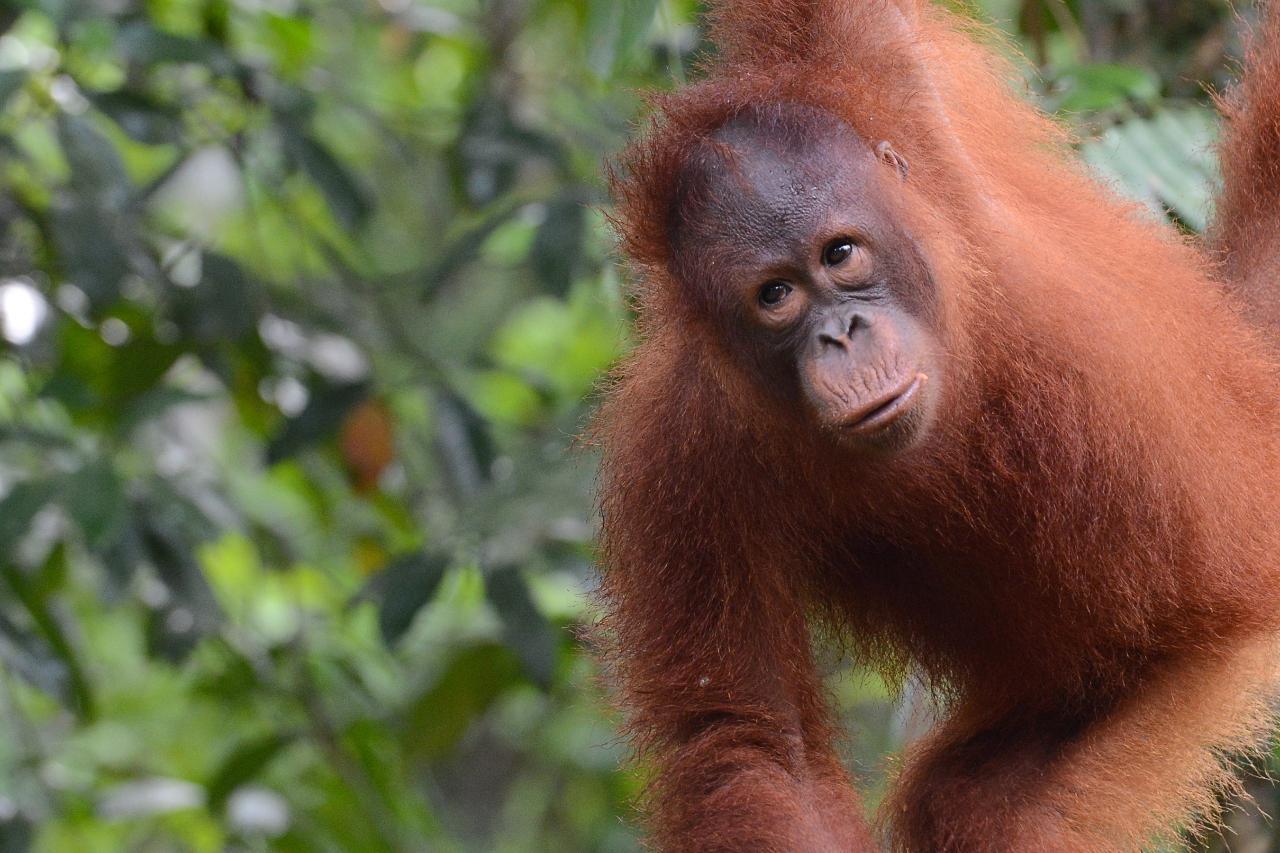 Semenggoh Orangutan Sanctuary (W1)