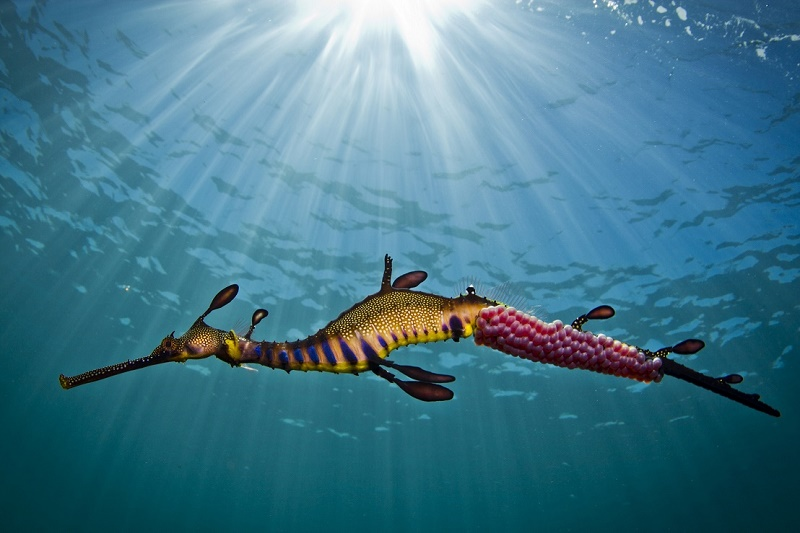 Snorkel with Sea Dragons