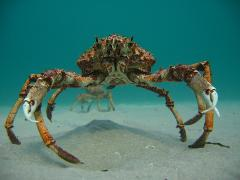 Dive with Spider Crabs - Certified Divers