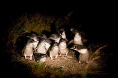 Bicheno Penguin Tour