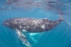 Humpback Whale Safari - GIFT VOUCHER