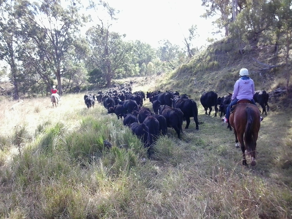 1/2 Day Cattle Muster