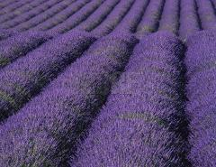 LAVENDER TOUR FROM MARSEILLE FULL DAY