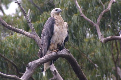 YOUNG_SEA_EAGLE_MARCH_2010_small