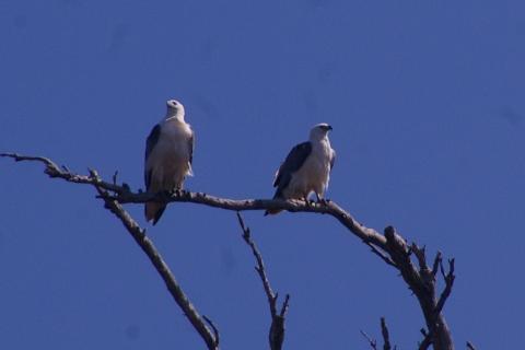 tour_10_jan_10_034_Pair_sea_eagles_leven_river_cruise