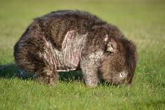 DONATE - Wombat Rescue Tasmania Inc.
