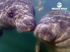 Gift Certificate - Swim with the Manatees - Touch Down in the TEE-ZONE - Homosassa
