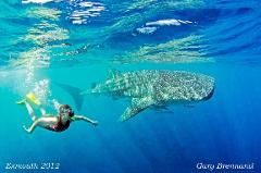 Regular Whaleshark Swim on the Ningaloo Reef Exmouth