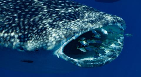 Deluxe Whaleshark Swim Tour aboard Blue Strike            (2 of 2 Boats Available).