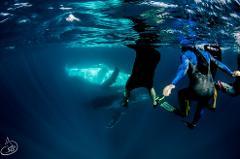 Humpback Whale Swim Tour