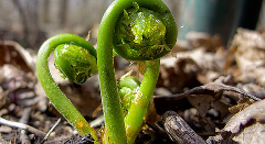 Fiddlehead Forage