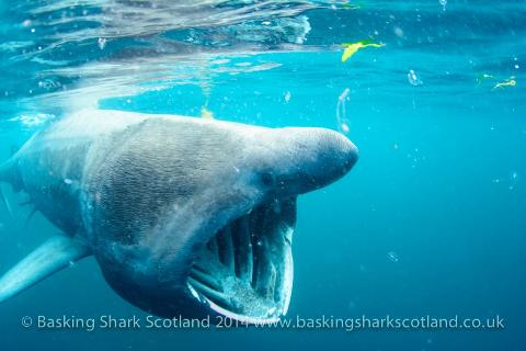 Four Day Basking Shark Tour