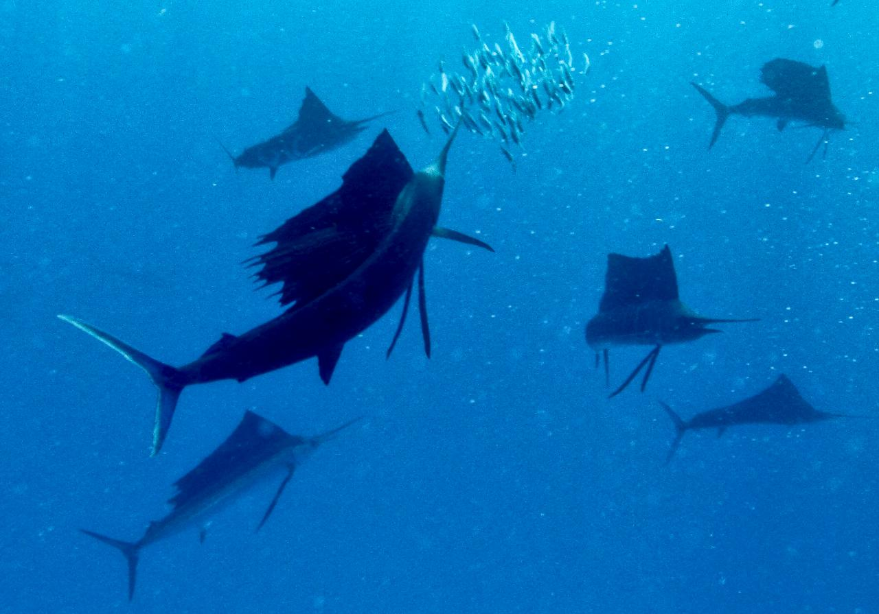 GIFT CERTIFICATE Swim with Sailfish - Private Group Tour (max 6 people)