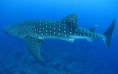 GIFT CERTIFICATE Swim with Whale Sharks Open Tour