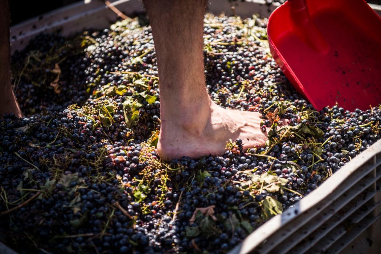 Harvest Grape Stomping