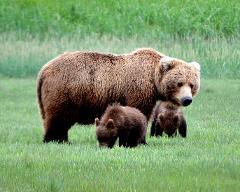 Alaska Bear Viewing Day Tour (Jun 15- Aug 30)