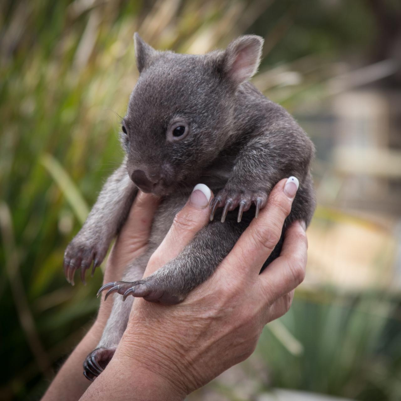 Mt Wellington, Richmond & Bonorong Wildlife Park COMBO tour