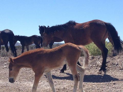 See the Wild Horses of Nevada