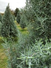 Field Trip - Christmas Trees