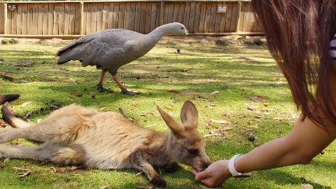 Morning at Bonorong Tasmania Australia