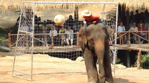 Elephants At Work Mae Sa Elephant Camp