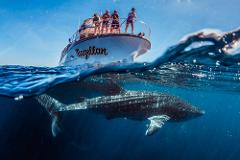 Whale Shark Snorkelling Adventure Tour
