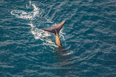 """South Pacific Whale Watch """"Discoverer"""""""