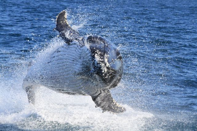 Sydney Express Whale Watching Cruise - Saturdays, Sundays & Public Holidays