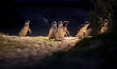 Penguins (with AM City) (English M4)