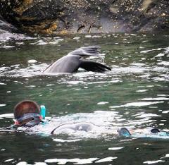 Kangaroo Island Ocean Safari - 2 hour SWIM with dolphin / seal / coastal snorkelling