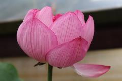 Blue Lotus Water Garden Day Tour