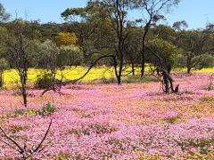 FOUR DAY OUTBACK AND STATION WILDFLOWER TOUR 2020