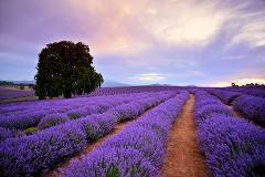 Prestige Tours - Bridestowe Lavender Farm
