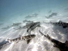 San Diego La Jolla Leopard Shark Tours